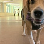 'Bacteria-sniffing' dog keeps cancer patients safe at Greenville hospital