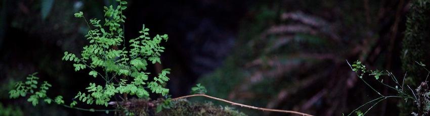 Tofino Leaves